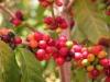 Les origines du café  - Sanmac